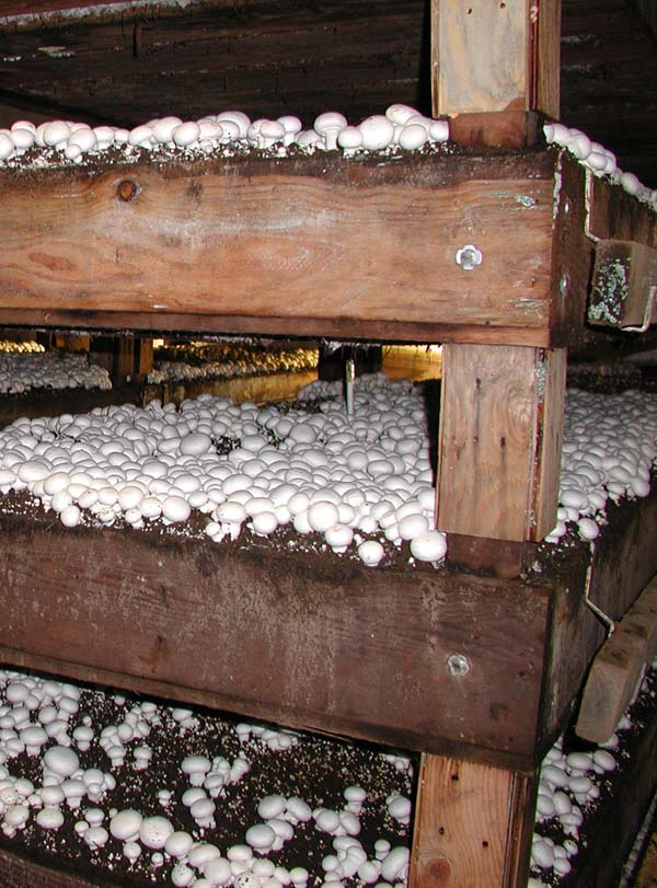effect of compost on white button mushrooms Fungal diseases of  mushrooms and their control nancy pyck,  compost debris on floors and then be spread around the farm on footwear,.