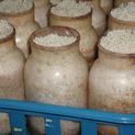 Enoke bottles before fruiting collars