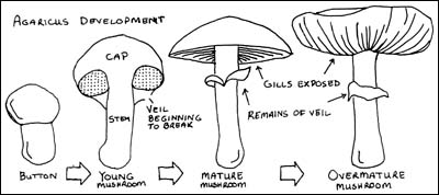 Mushroom Development Illustration
