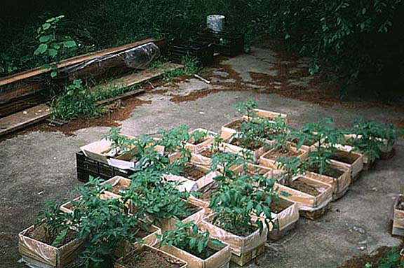 Recyle your Mushroom Kit, Grow Tomatoes!