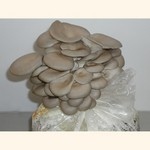 shiitake mushroom kit instructions