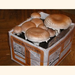Portabella, Giant Heirloom  Mushroom Kit
