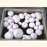 White Button Mushroom Mini Kit